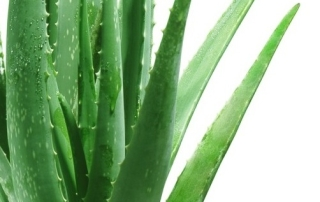 Aloe-Vera-Plant-Natures-Super-Food